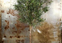 Et Falsk Oliventræ – Træet der bliver ved med a give.
